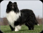 Bi Black Sheltie