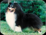 Tri Color Sheltie